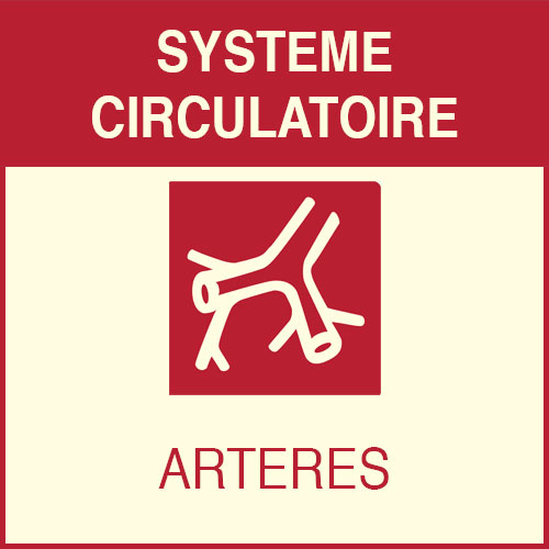 Système circulatatoir - artères