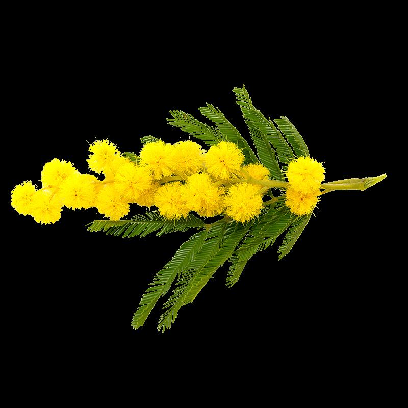 Acacia senegal ou gommier blanc