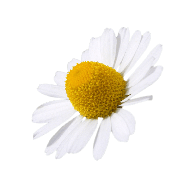 Chamomile (common)